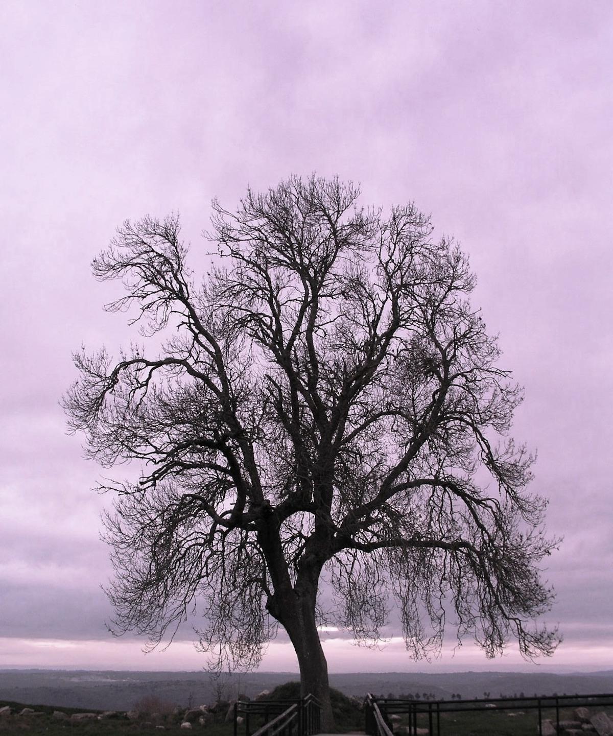 Árvore. Almeida, 2003