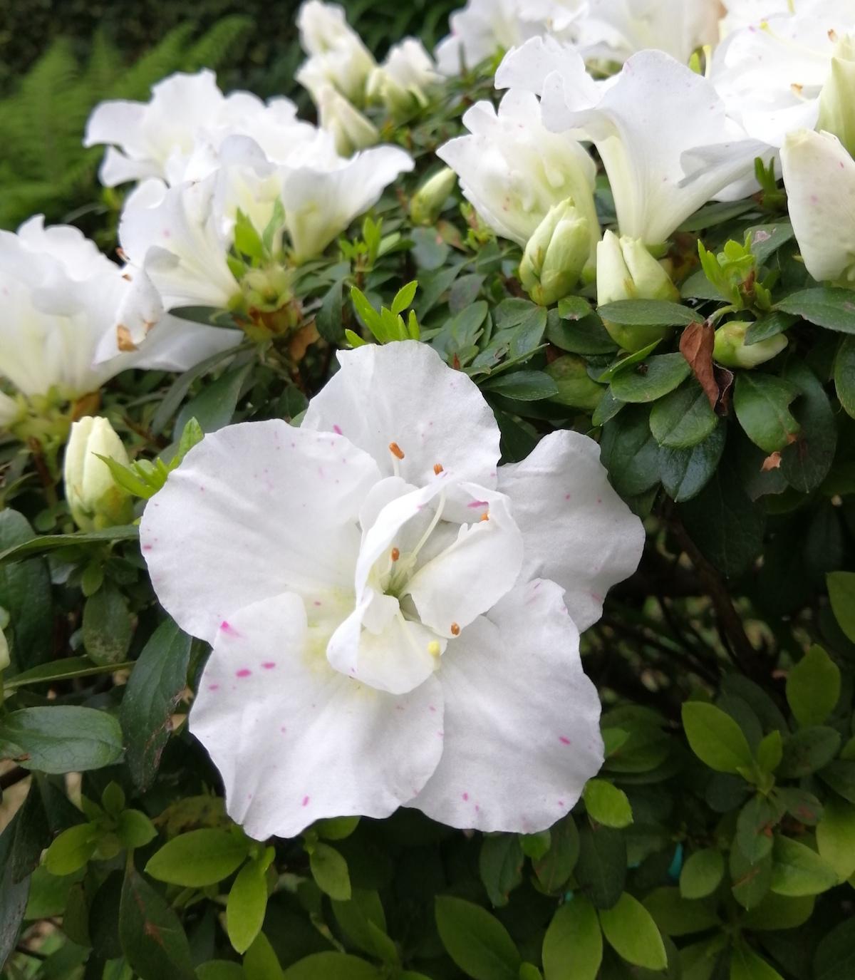 azáleas, flores, natureza